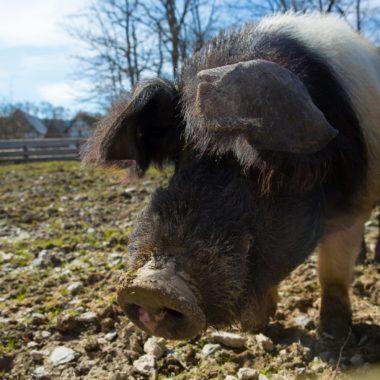Nahaufnahme eines ausgewachsenen Sattelschweins im Freigehege.