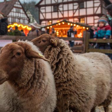 Coburger Fuchsschafe auf dem Adventsmarkt