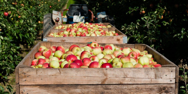 Sonderausstellung Apfel. Kultur mit Stiel