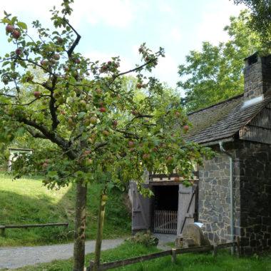 Apfelbaum vor dem Hammerwerk aus Battenberg
