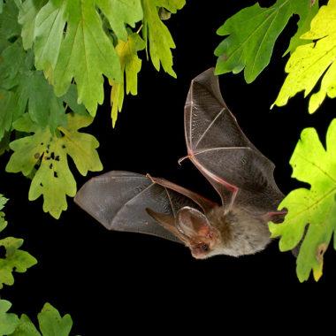 Fledermaus beim Flug zwischen Baumblättern (Foto: Marco König)
