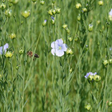 Wiese mit Blume und Biene