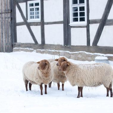 Coburger Fuchsschafe im Schnee