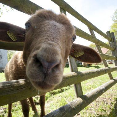 Coburger Fuchsschaft steckt seinen Kopf durch den Zaun