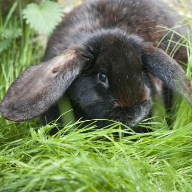 Kaninchen – Der Meissner Widder
