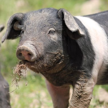 Ferkel des Deutschen Sattelschweins