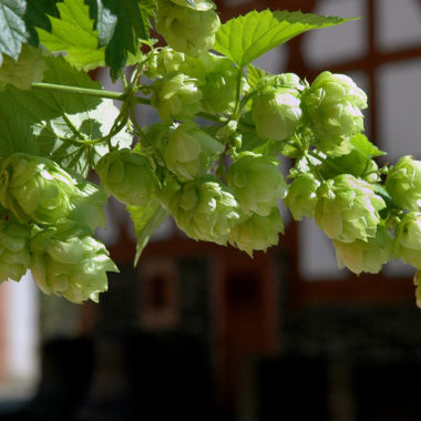 Hops Cultivation