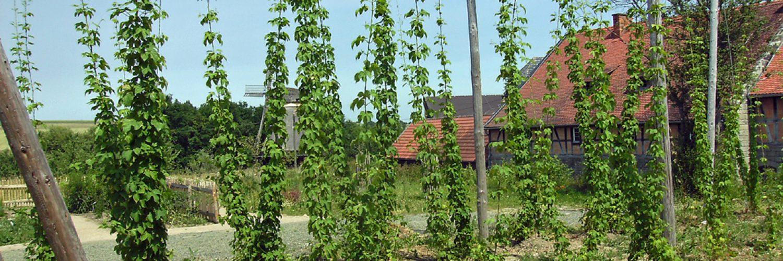 Blühender Hopfengarten in der Baugruppe Nordhessen