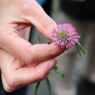 Hand mit abgepflückter Kleeblume
