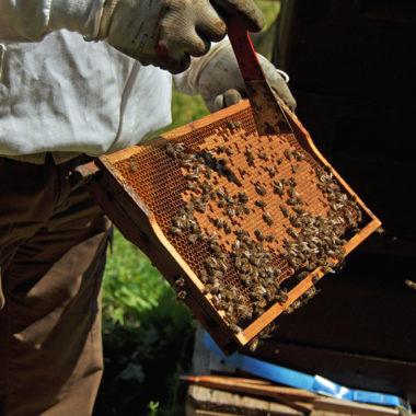 Imker mit von Bienen bevölkerter Honigwabe