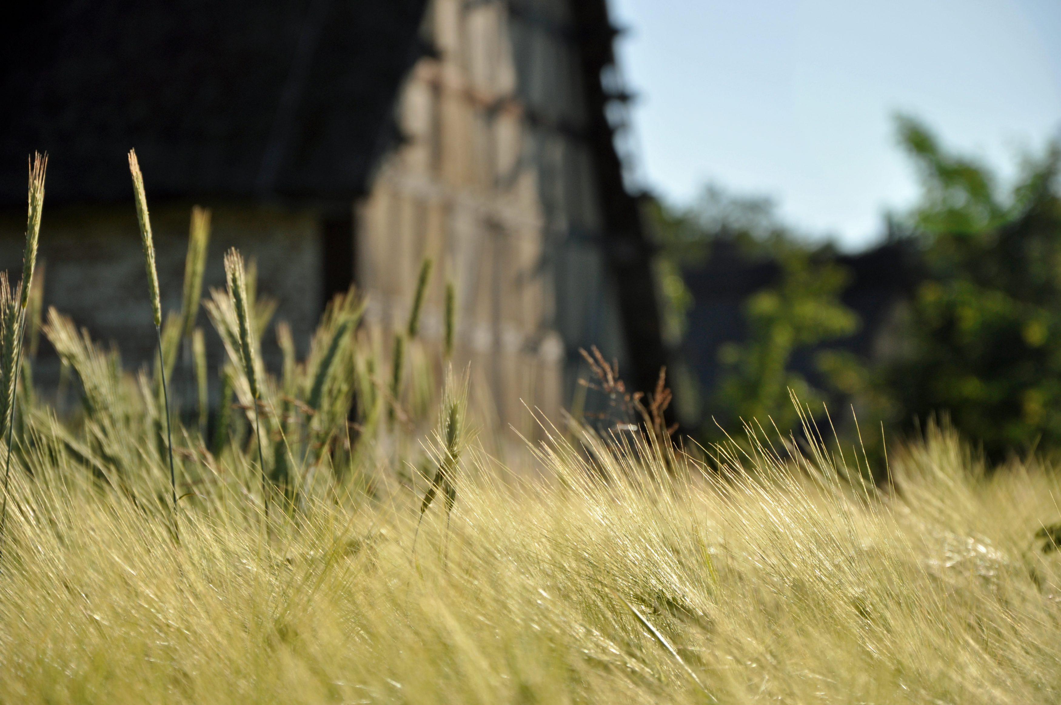 Dinkel auf dem Feld