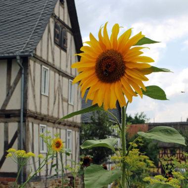 Sonnenblume vor dem Hintergrund der Baugruppe Mittelhessen