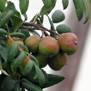 Am Ast wachsende Früchte eines Speierlings
