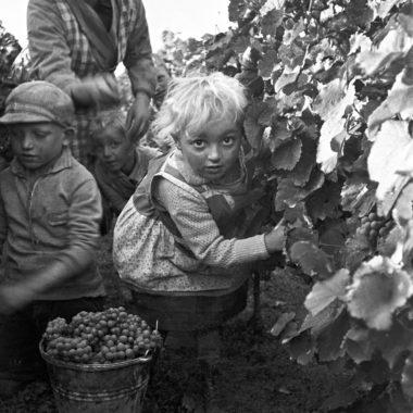 Drei Kinder und eine Frau helfen bei der Weinlese