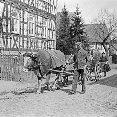 Kuhgespanne auf einer Dorfstraße in der Schwalm.