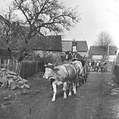 Kuhgespanne auf einer Dorfstraße.