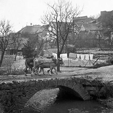 Zwei Kühe werden über eine Steinbrücke zurück zum Stall geführt.