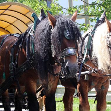 Kaltblutpferde an der Pferdekutsche