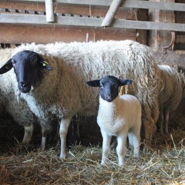 Ein Blick in den Schafstall aus Gungelshausen: Rhönschafe und ihr Nachwuchs