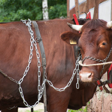 The Red Höhenvieh Cattle