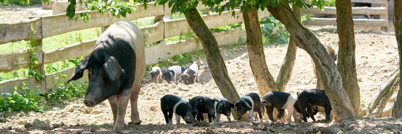 Eine Sau läuft mit vielen kleinen Ferkeln durch das Sattelschwein-Gehege.