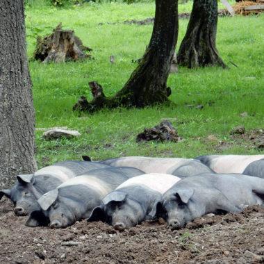 Die Sattelschweine ruhen sich auf der Waldweide aus.