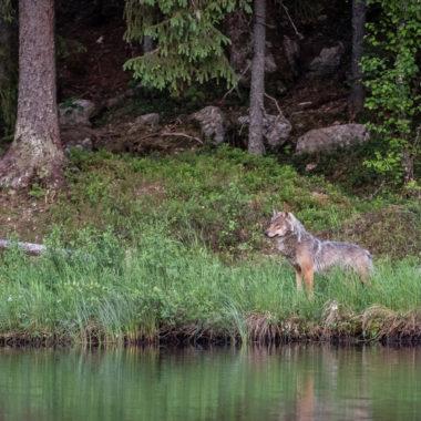 Wolf am Flussufer
